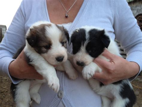 border collie puppies california border collies for adoption breeds picture
