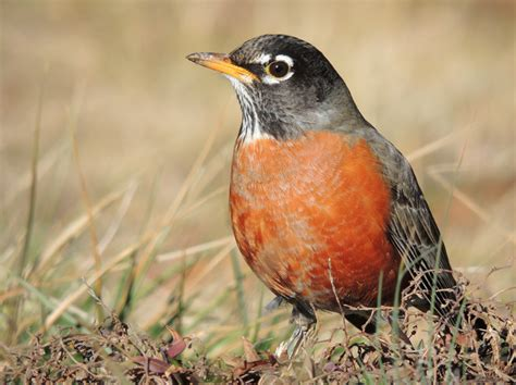 american robin turdus migratorius wildlife journal junior