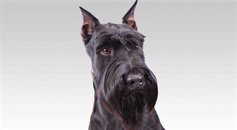 standard schnauzer dog breed information american kennel