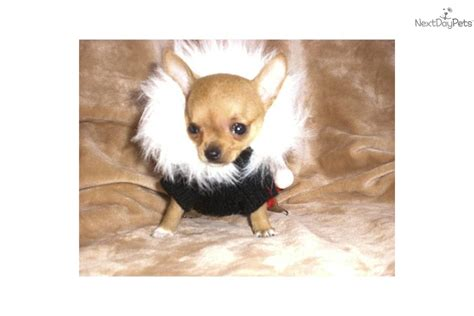 apple chihuahua puppies for sale near me chihuahua puppy for sale near tulsa oklahoma 2efcf3d9 7121