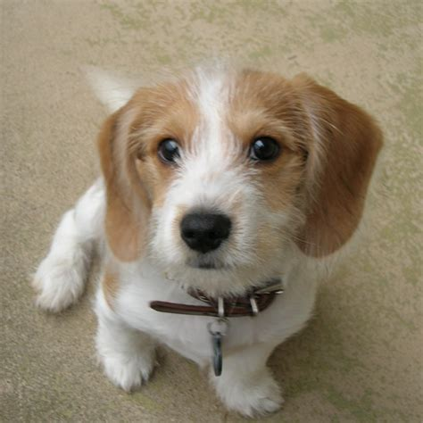 Bagelen Mix baxter the beagle mix from philadelphia luvmutt