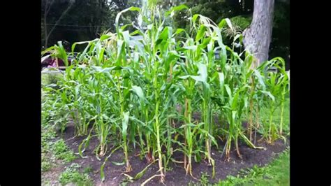 backyard corn growing sweet corn dave s 2013 garden youtube