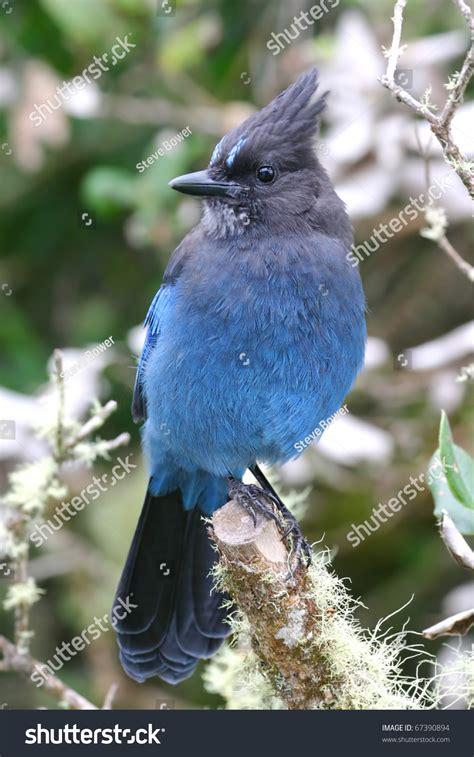 stellar blue jay in dead tree stock photo 67390894