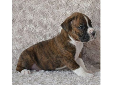 boxer puppies for sale las vegas and adorable boxer puppies ready to go animals las vegas new mexico