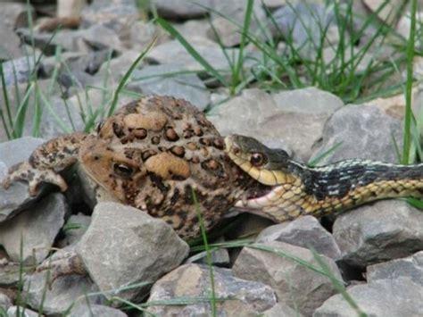 Garter Snake Eat Animal Identifier