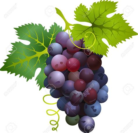 uva clipart grape clipart uva pencil and in color grape clipart uva