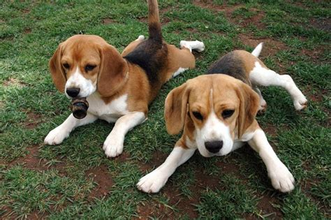 beagle basset puppies bagle hound basset hound beagle mix info facts temperament puppies
