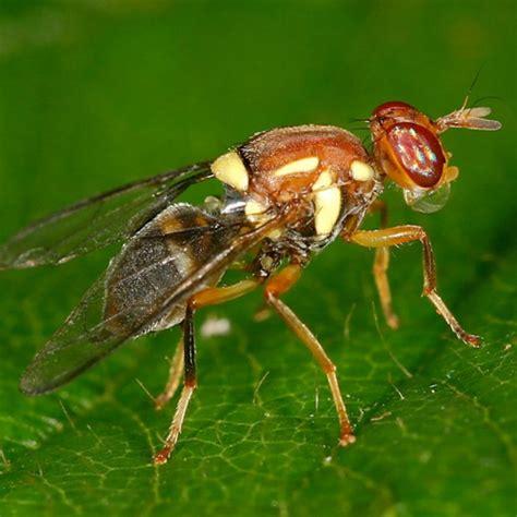 fruit fly fruit flies bugs for bugs