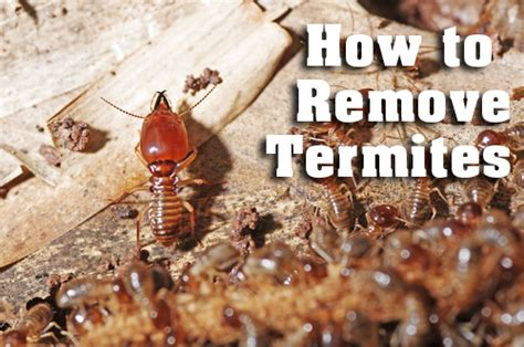 how to get rid of termites with wings in house termites alpha ecological