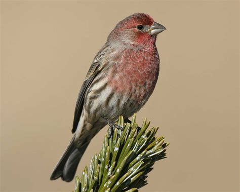 picture of house finch house finch audubon field guide