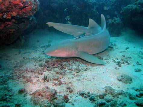 Requin Dormeur by Centre De Plong 233 E Blue Note 224 Cozumel Mexique Faune Et