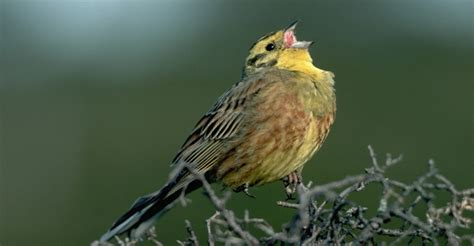 yellowhammer alabama pictures alabama history com