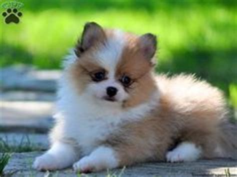 pomeranians for sale in pa pets that are sooooo adorable on pomeranian puppies for sale