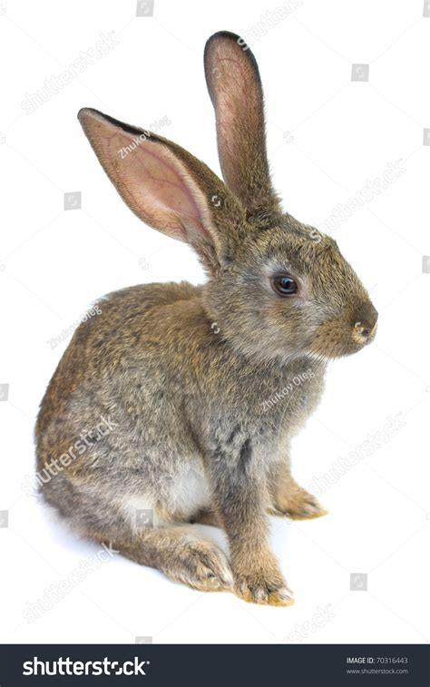 white rabbit new year happy new year rabbit isolated on stock photo 70316443