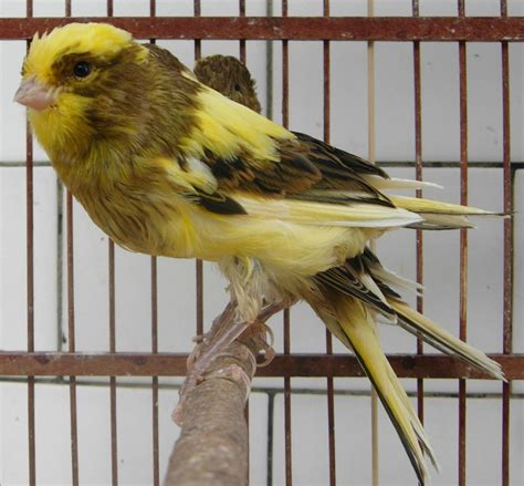 Anakan Kambing Lokal cara mencetak lokal laman 4 klub burung