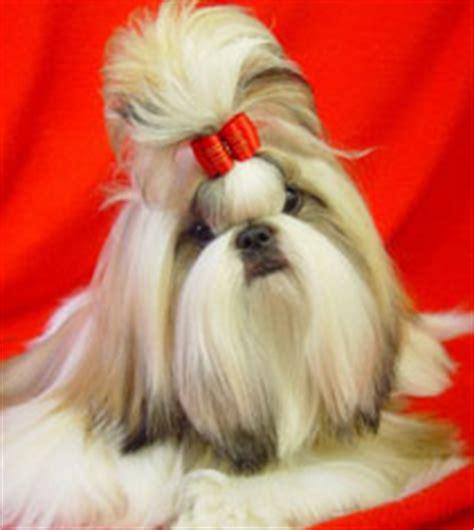 canadian shih tzu club top 10 shih tzu puppies 2007