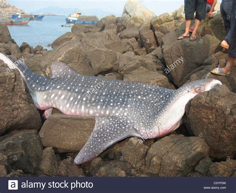 baby shark whale baby basking sharks www imgkid com the image kid has it