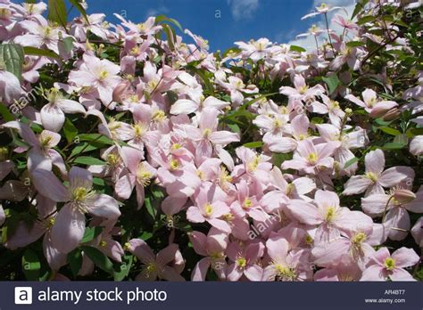 Climbing Plant With Fragrant Flowers - clematis montana rubens climbing plant pink fragrant flowers stock photo royalty free image