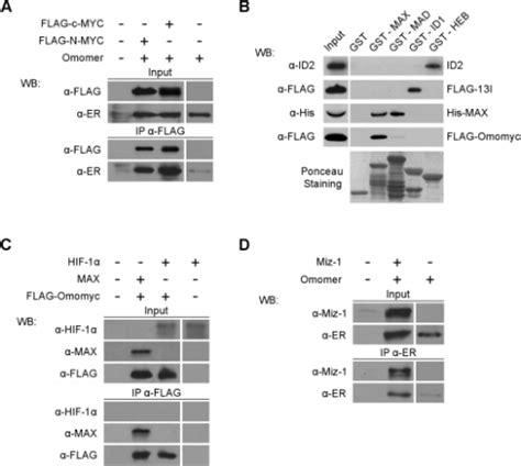 protein l binding specificity omomyc binding specificity a omomyc binds c myc and n