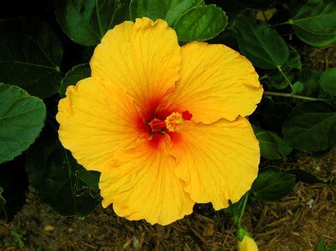 Hawaiian Flowers by Hawaiian Flowers Images Gallery
