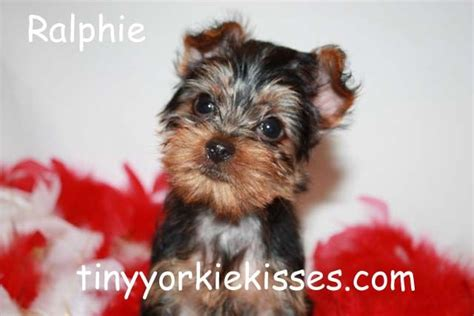 teacup yorkie for sale california tiny teacup yorkie puppies for sale quoteko quotes