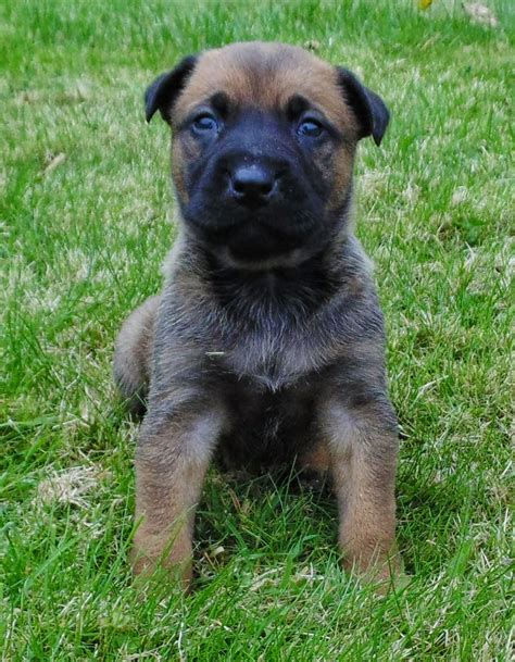 belgian malinois rescue puppies belgian malinois x puppies corwen denbighshire pets4homes