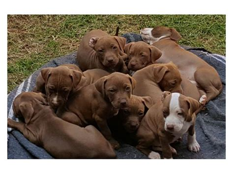 pitbull puppies for sale in delaware pitbull dogs for sale in gauteng roodepoort puppies for sale