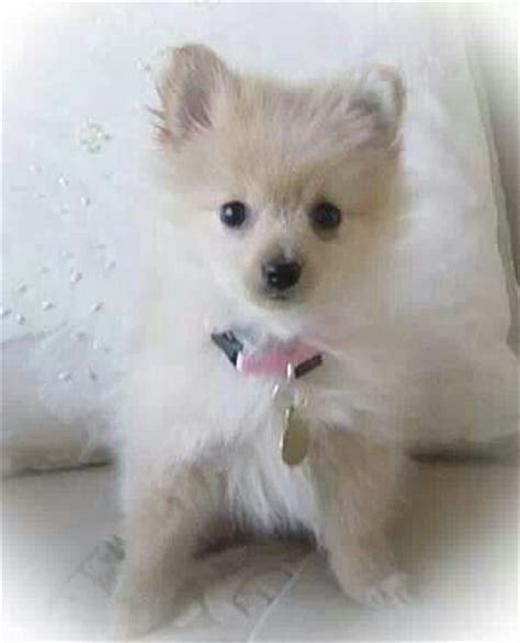 teacup pomeranian yorkie mix porkie pom yorkie mix adorable pom tiny dogs pint