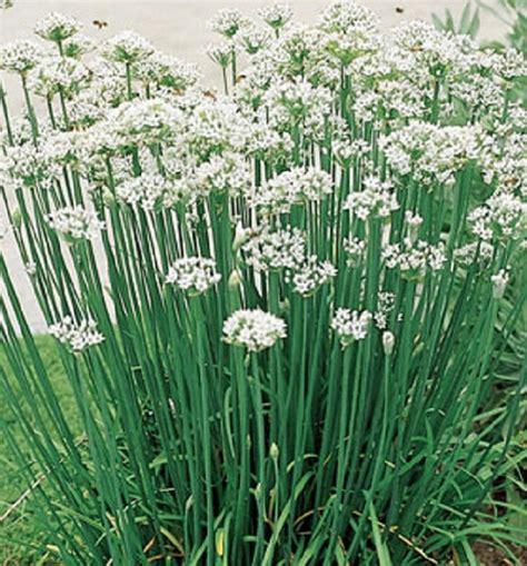 Biji Bunga Allium bunga kucai putih