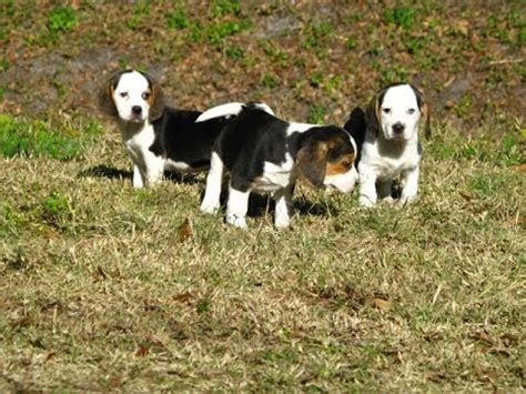 puppies for sale gulfport ms beagle puppies dogs for sale in gulfport mississippi ms 19breeders biloxi
