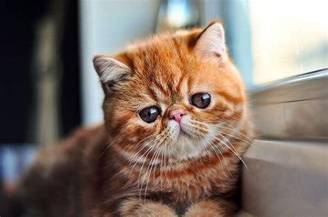 gatti persiani a pelo corto esotico a pelo corto shorthair atlante dei