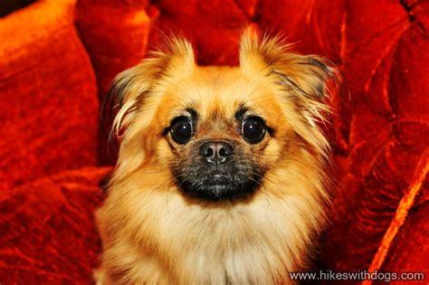 pug and pekingese mix pug pekingese mix breeds picture