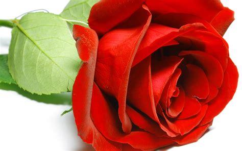 wallpaper flower rose free download red rose flower wallpaper