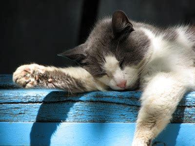 animal bon dormeur le chat un bon dormeur trucs et astuces chat sant 233 vet