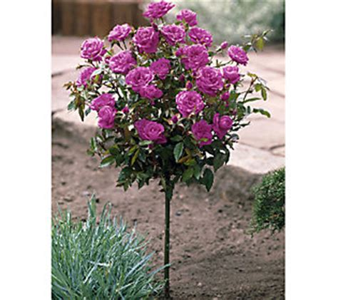 cottage farms roses cottage farms 36 patio tree