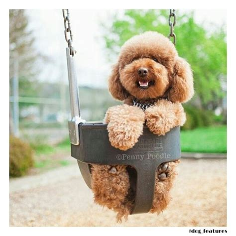 puppy at poodle at playground omg photos