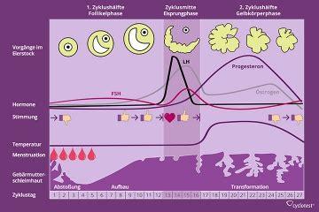 wann fruchtbare tage frau weiblicher zyklus funktion und phasen des