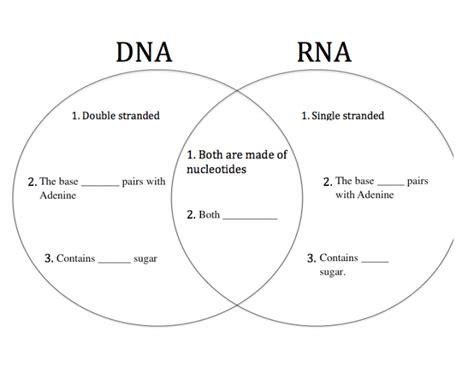 dna vs rna venn diagram dna vs rna venn purposegames
