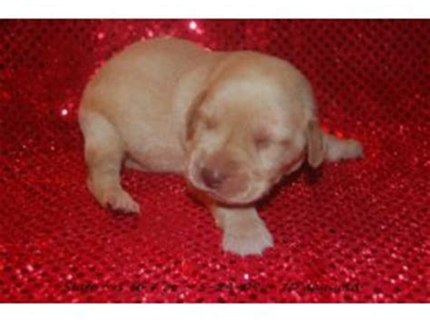 labrador puppies for sale ga labrador retriever puppies for sale in ga