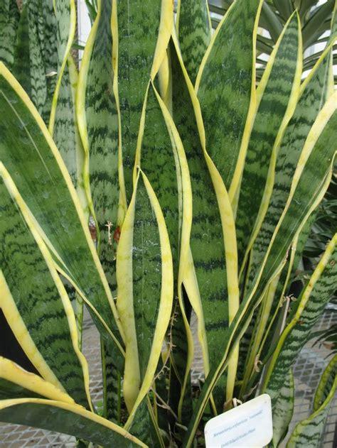 sansevieria trifasciata best 25 sansevieria trifasciata ideas on pinterest
