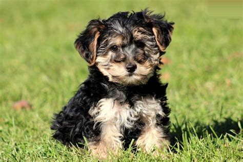 yorkie poo lifespan yorkie poo puppies rescue pictures information temperament characteristics