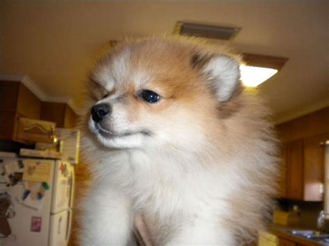 pomeranian puppies for sale in shreveport conway s kennel pomeranian breeder benton louisiana