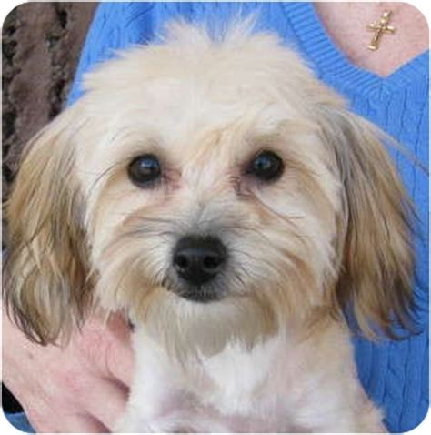 yorkie bichon mix for sale pet not found