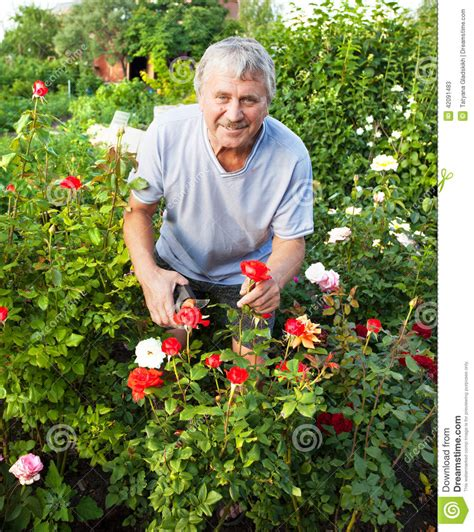 man caring for roses in the garden stock image image