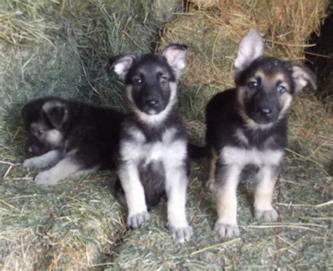 black and white german shepherd puppies prairieacreskennel german shepherds for sale
