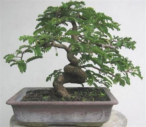 Bakalan Bonsai Asem Jawa cara membuat bonsai pohon asem bibitbunga