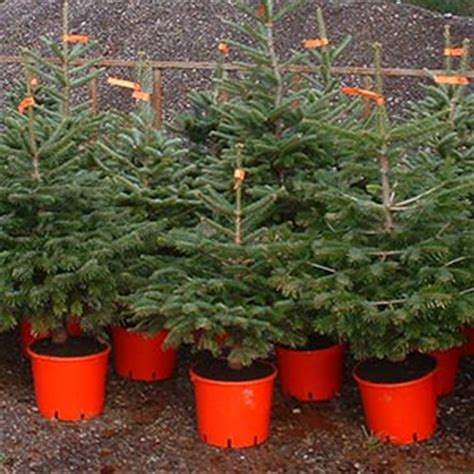 why choose container grown christmas trees