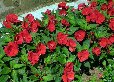 Benih Bunga Tulip Di Malaysia nama nama bunga di malaysia