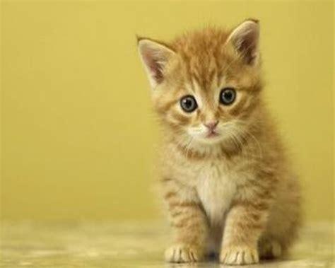 Dan Makanan Anak Kucing tips cara merawat bayi kucing tanpa induk informasi dunia hewan