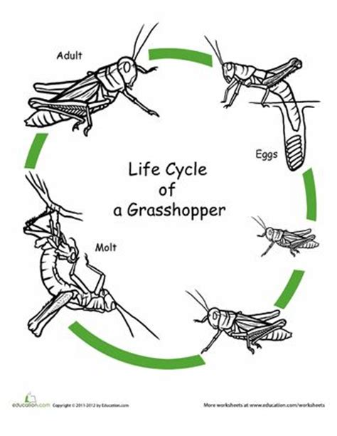 Grasshopper Dissection Worksheet Answers by Color The Cycle Grasshopper Beautiful Coloring
